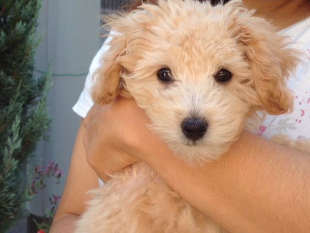 生後7ヶ月頃の吠えなどの小型犬の問題行動 の理由としつけ方