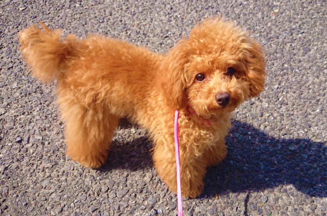 【小型犬のリード】長さ、おすすめ素材、リール式が危険な理由