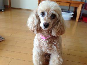 「アカナ」小型犬、スモールブリードとシニアドッグの評価・口コミ