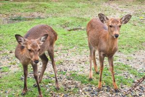奈良の鹿画像