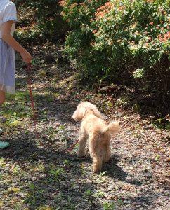 犬はな夏暑さ対策散歩