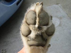 犬の爪きり肉球